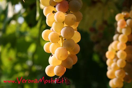 Un grappolo di uva Garganega, la varietà più utilizzata nel vino Soave
