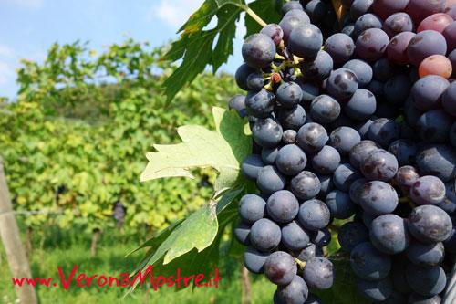 Grappolo di Corvina, la più importante tra le uve della Valpolicella