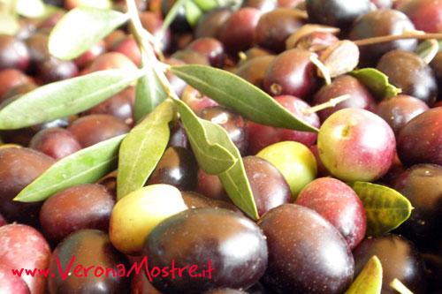 Olive di varietà Grignano, tipico della Valpolicella DOP, pronte per la spremitura