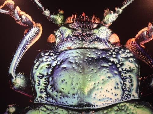 foto insetto al microscopio