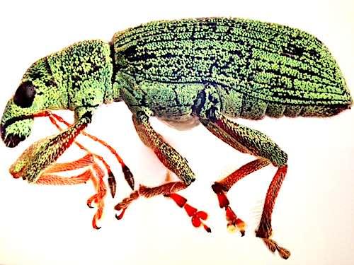 Immagine di un insetto al microscopio.