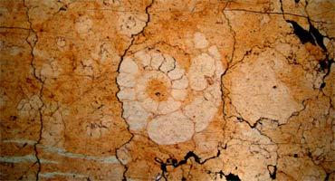 Ammonite Rosso Verona